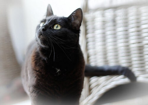 зехтин за защита на вашата котка