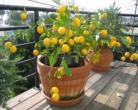 отглеждане на лимоново дърво в домашни условия