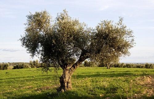 Зехтинът от екстракта на листата на зелено дърво е много ефективен при хипертония
