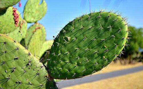 Лечебните свойства на кактуса Нопал