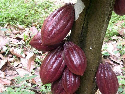 Шоколадът с най-висок процент какао е препоръчителен
