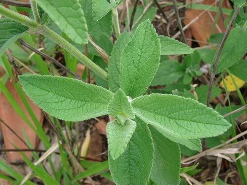 Градински чай за премахване на миризмата на крака