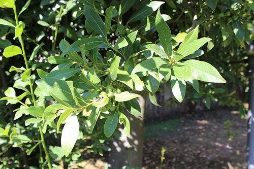 растения за отслабване: дафинов лист