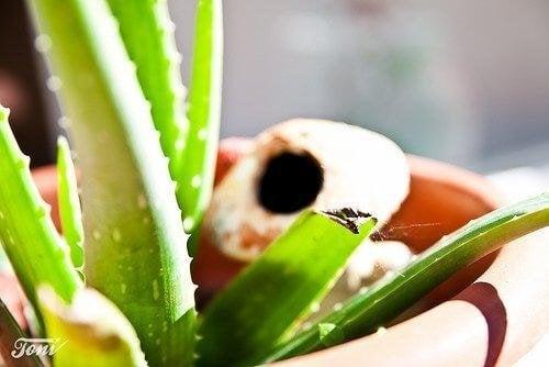 Цветето алое вера притежава редица ценни лечебни качества.