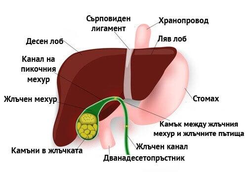 Приложение на артишок за жлъчния мехур