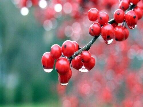 Семената на гуараната са богати на кофеин и даряват с енертия тялото