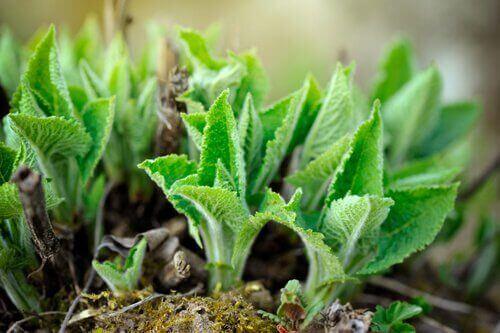 Отвара от градински чай за третиране на афти.