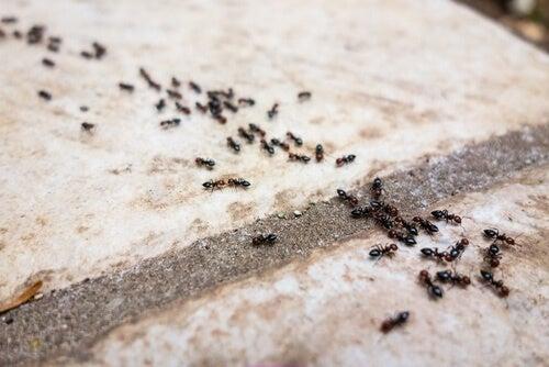 6 натурални репелента срещу мравки