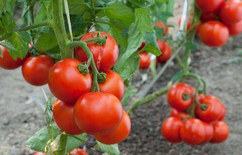 Как да отглеждаме домати у дома