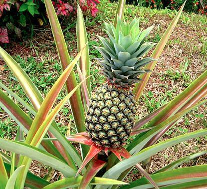 посаждане на ананас