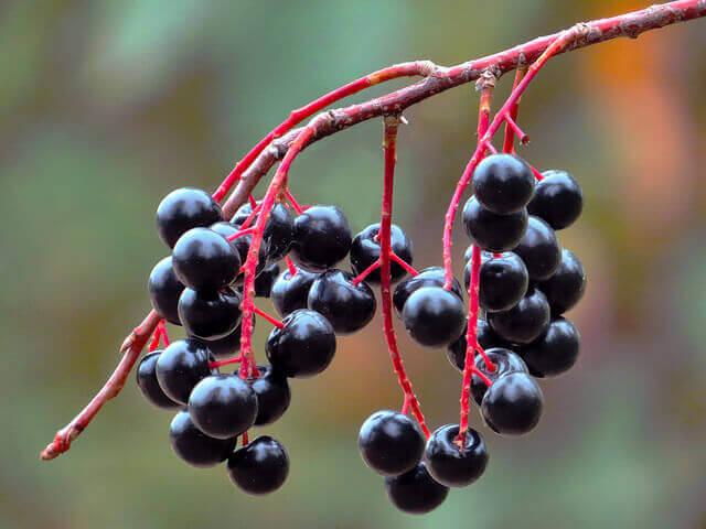 4-elderberry