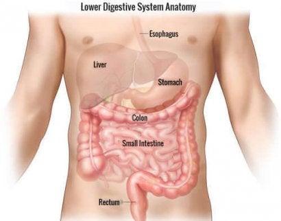 Заболяването болест на Крон може да обхване всяка една част на храносмилателната система.