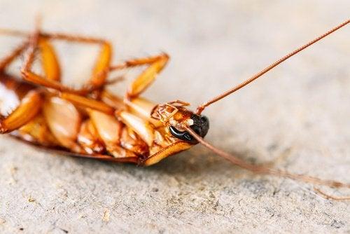 Борната киселина е най-доброто решение на проблема, наречен хлебарки