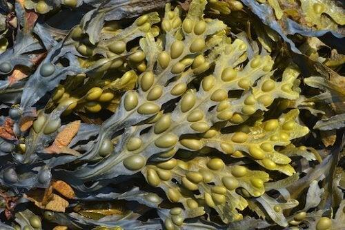 кафяви водорасли и хипотиреоидизъм