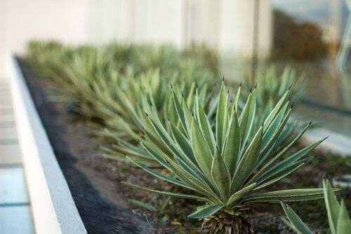 Подходящи растения за стаята: алое вера