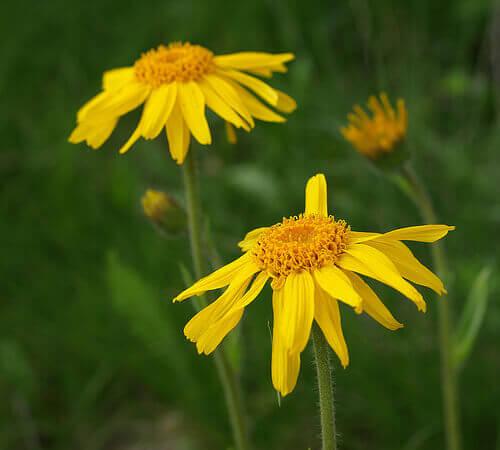 Арниката има широко приложение в природната медицина.