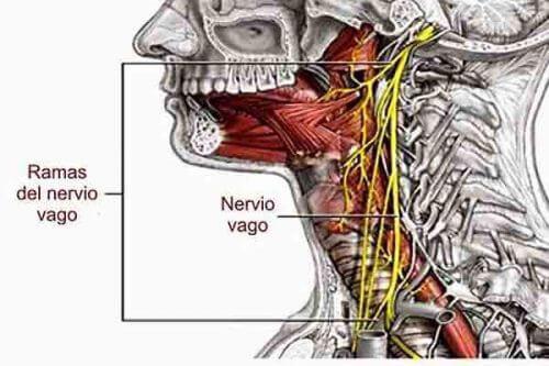 Блуждаещият нерв, или вагус нерв, започва в продълговатия мозък