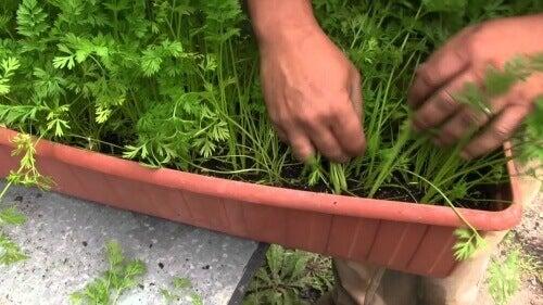 саксия с моркови и ръце, които ги берат
