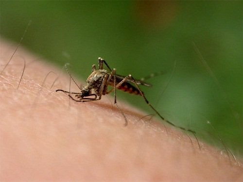 Невен за ухапвания от насекоми