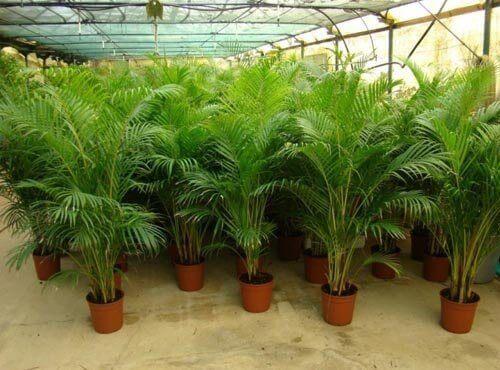 палма арека - едно от растенията, които пречистват въздуха в дома