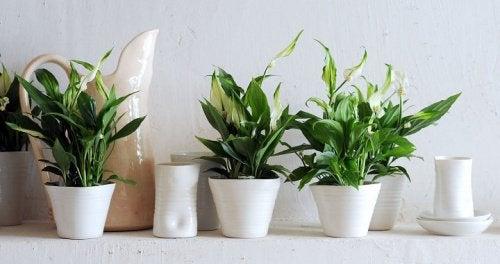 спатифилиум - едно от растенията, които пречистват въздуха в дома