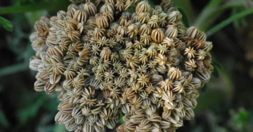 Cnidium Monnieri