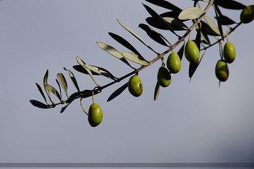 Маслиново дърво Арбекина