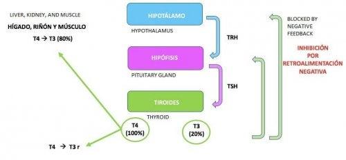 хипоталамус, хипофиза и щитовидна жлеза