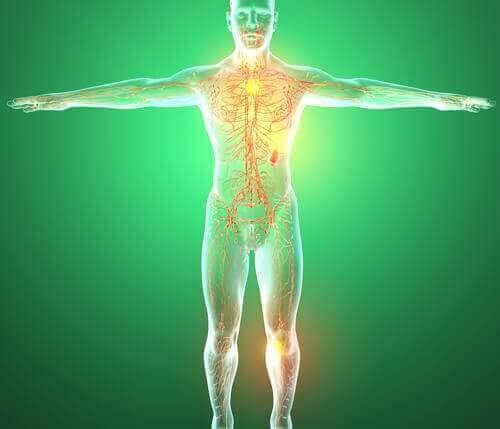 органи на лимфната система
