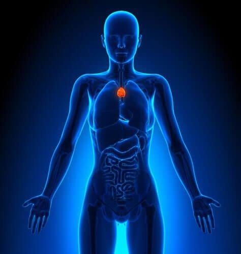 тимус и лимфната система