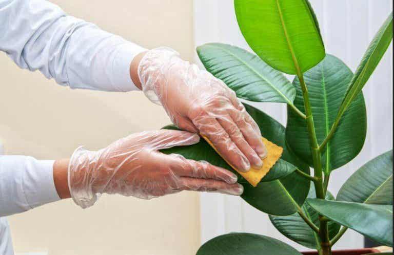 Как да почиствате листата на стайните растения