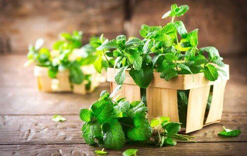 чаят от мента е чудесно средство в борбата срещу образуването на газове