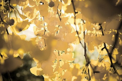 растението гинко билоба облекчава болката при разширени вени