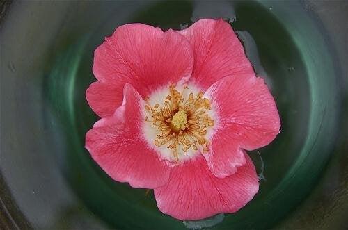 можете лесно да ароматизирате косата си с розова вода