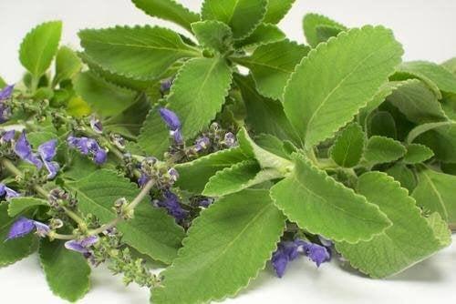 Чаят от болдо – верен съюзник в борбата с уринарните инфекции