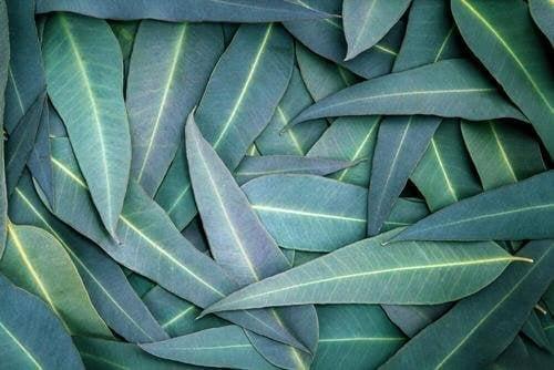 5 натурални средства с евкалипт срещу респираторните проблеми