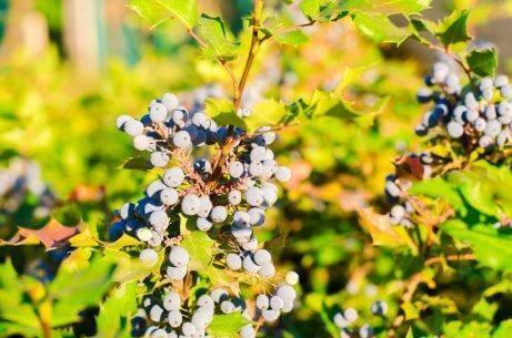 Орегонското грозде е сред натуралните средства за локално лечение на псориазиса.