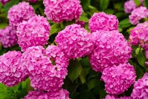 Хортензията е много красиво, но и опасно растение.
