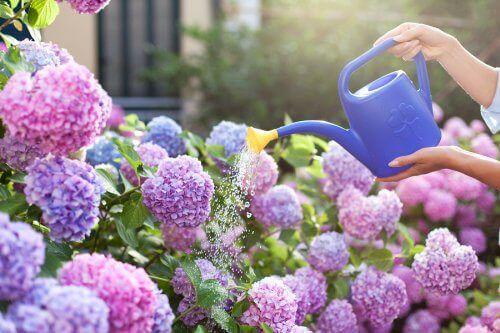 Ароматни цветя: снимка на лилави цветя и една лейка, която ги полива