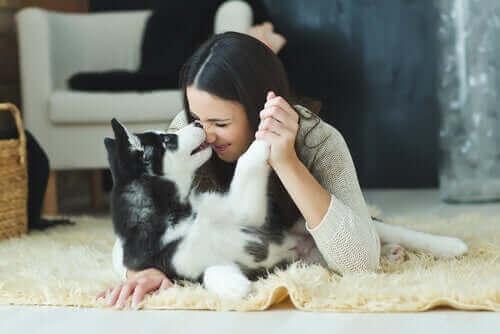 Куче хъски, което си играе с едно момиче