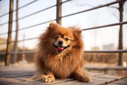 Куче пумеран