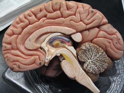 Устройство на човешки мозък