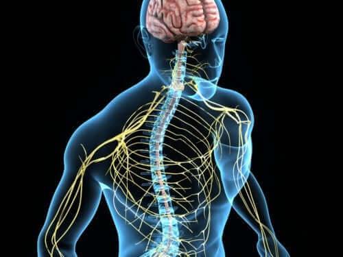 Шийните гръбначномозъчни нерви са част от соматичната нервна система.