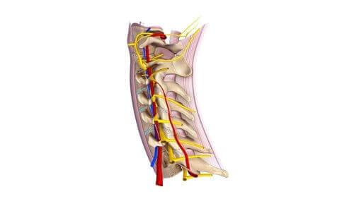 Научете всичко за шийните гръбначномозъчни нерви
