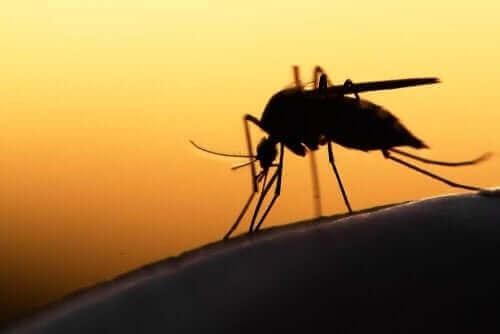 Лекарства за коронавирус: снимка на комар