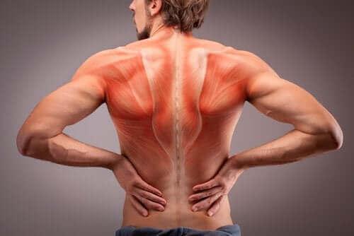 Анатомията на гръбначните мускули