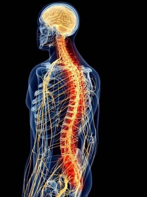 Анатомията на гръбначните мускули: схема на средни гръбначни мускули
