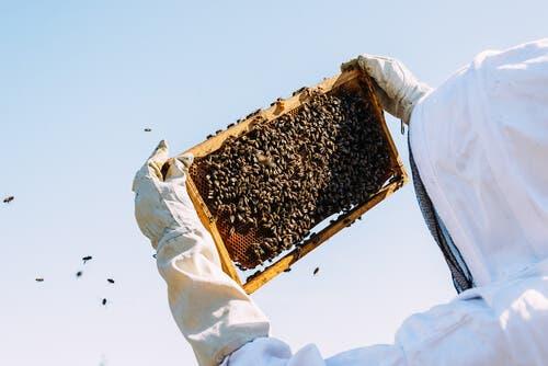 Пчелното млечице и имунната система