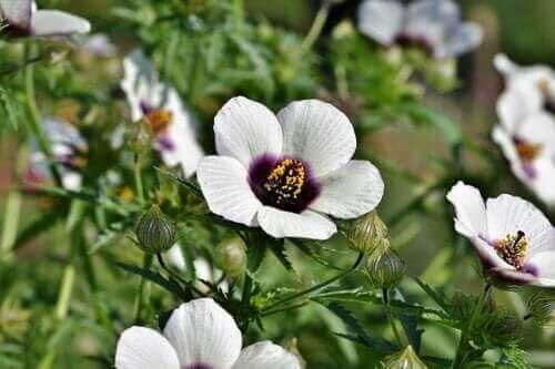 Коренът от бяла ружа: ползи и странично действие